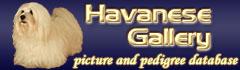 Havanese Gallery