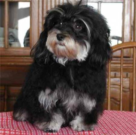 Black And Tan Havanese Pictures to Pin on Pinterest ...