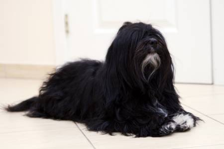 Havanese Black With Wh...