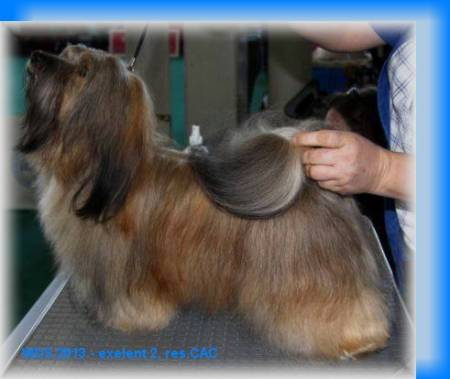 Sandra´s New Star ANGEL Navajo* - Havanese Gallery